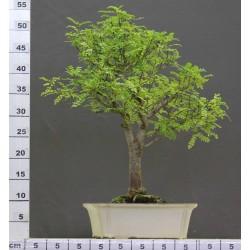 Faux poivrier Xanthoxylum 3-1