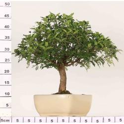 Faux poivrier Xanthoxylum 3-4