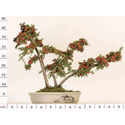 COTONEASTER CO-1-10