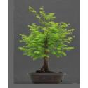 Metaséquoia