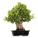 Ficus Rétusa