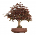 Bonsai Erable Atropurpureum