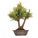Séquoia Sempervirens