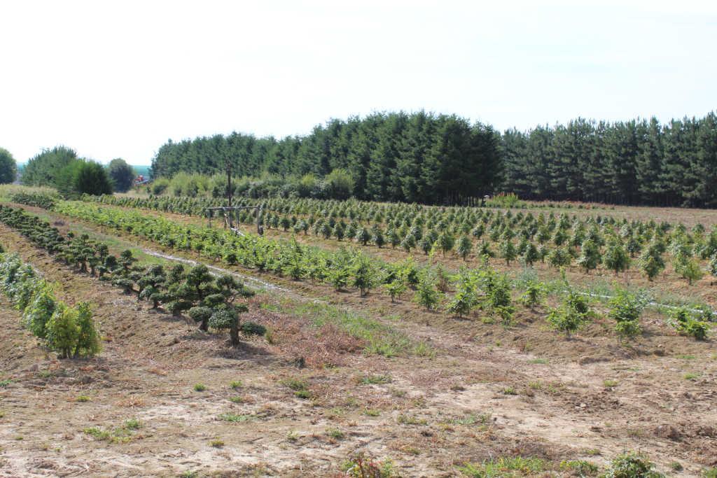 Culture en plein champs de bonsaï dans la pépinière