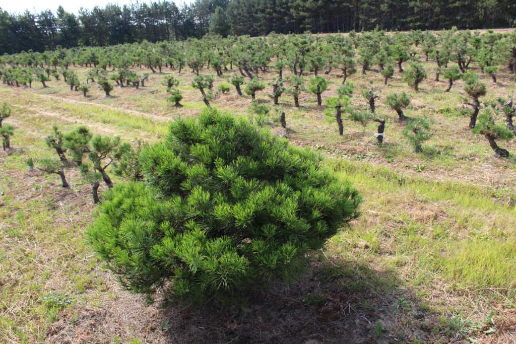 Pins mugos bonsaï en pleine terre