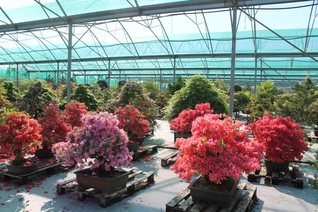 Azalée bonsai à vendre, direct pépinière