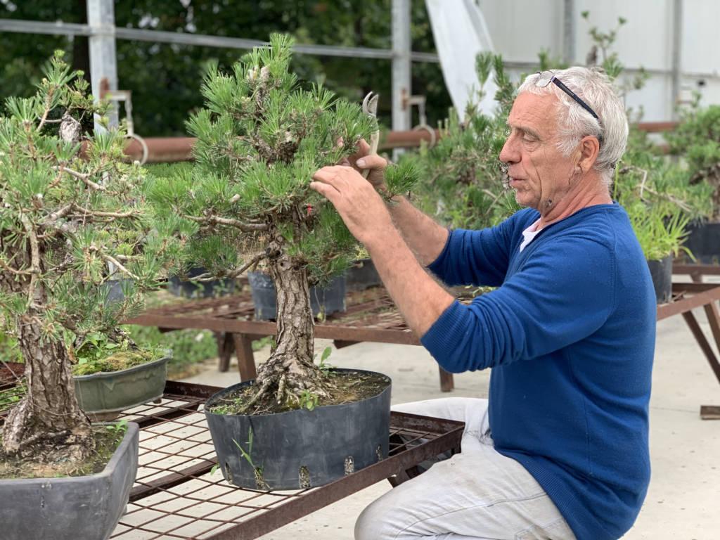 Comment bien choisir un pin en bonsai