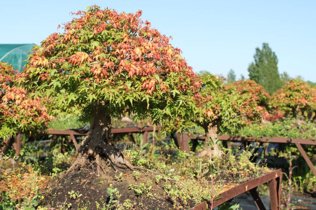 Gros érable palmatum Kiyohime de 35 ans