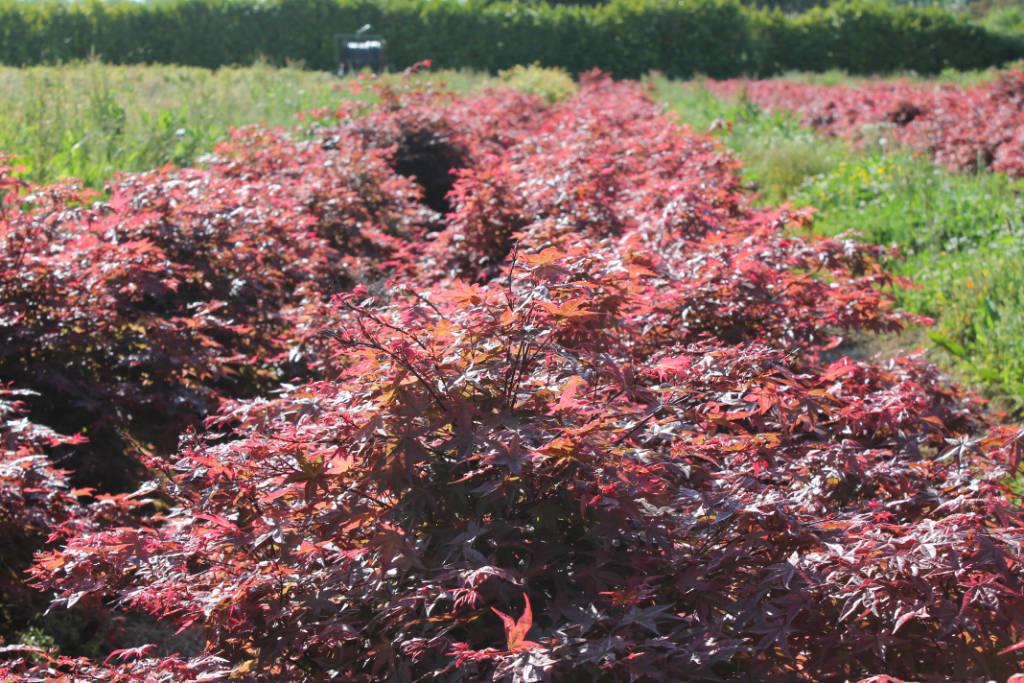 Erables bonsai avec feuillage rouge