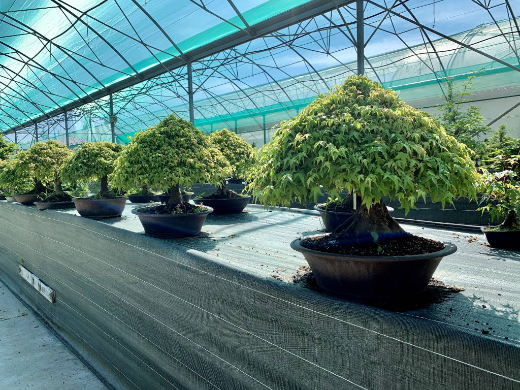 Erables kiyohime en bonsai