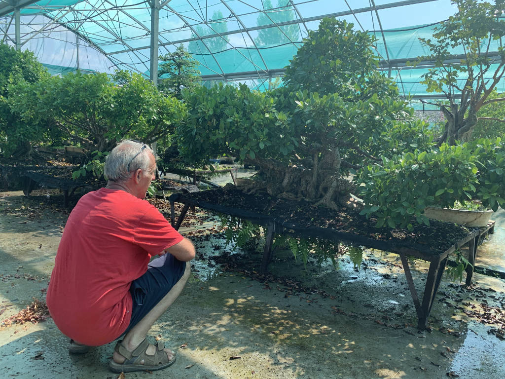 Grand ficus en bonsai