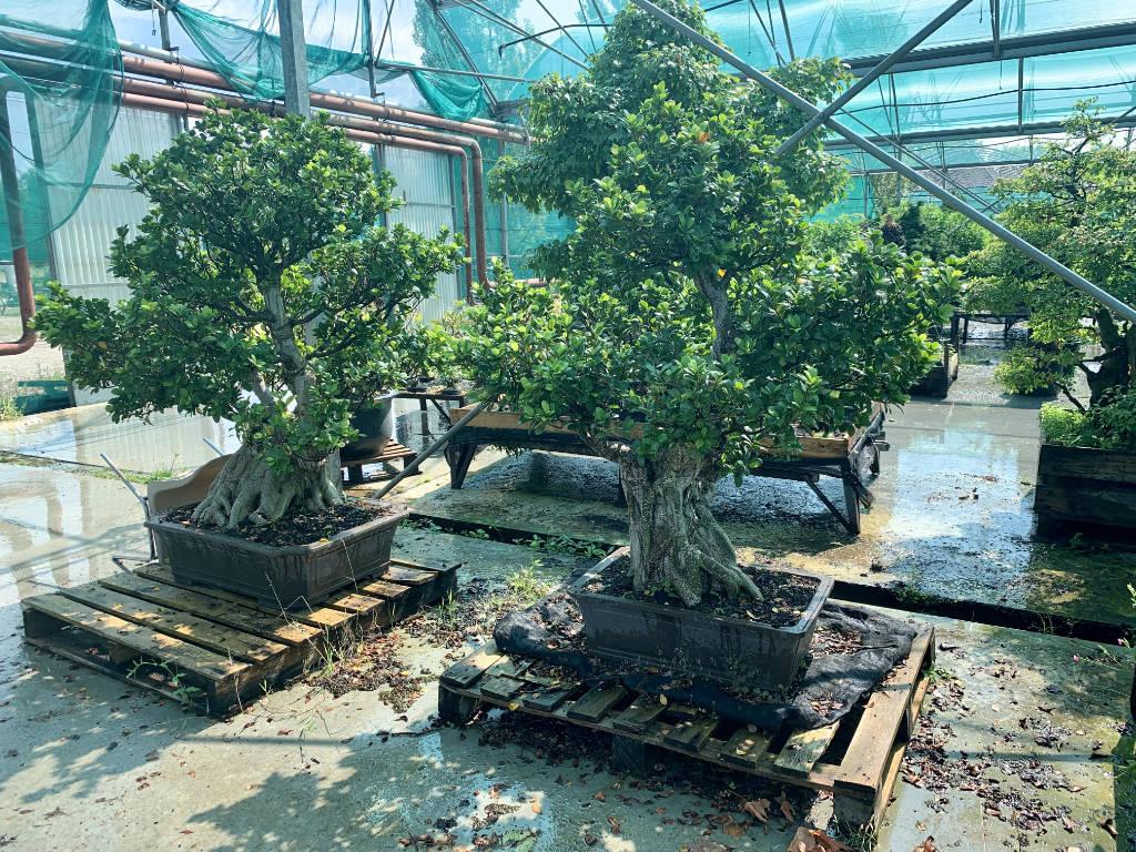 Collection privée de grands ficus en bonsai