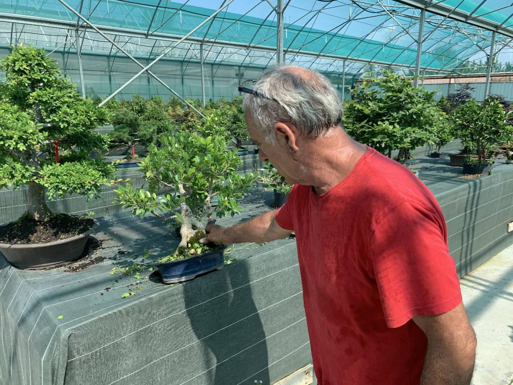Bien entretenir en ficus en bonsai