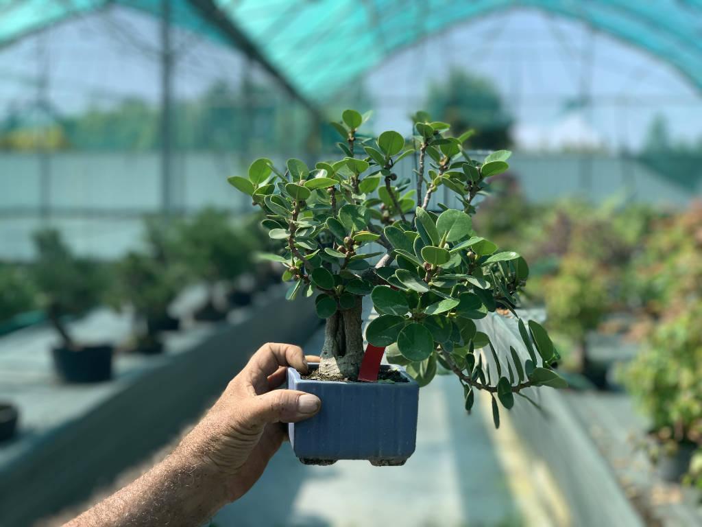Petit ficus bonsai
