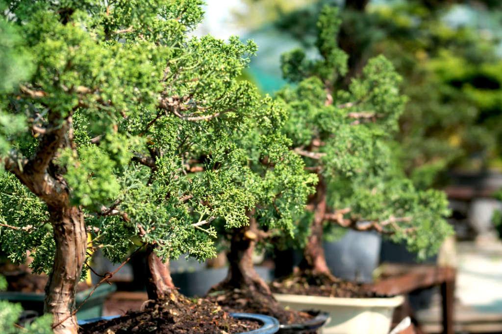 Le Juniperus Chinensis et le plus populaire des genévriers en bonsai