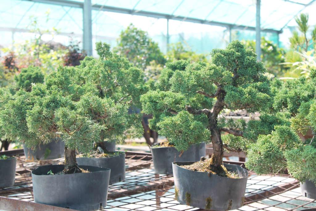 Genévriers bonsai en vente à la pépinière