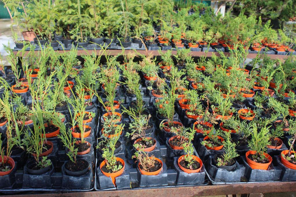 Boutures de génévrier pour créer des bonsais