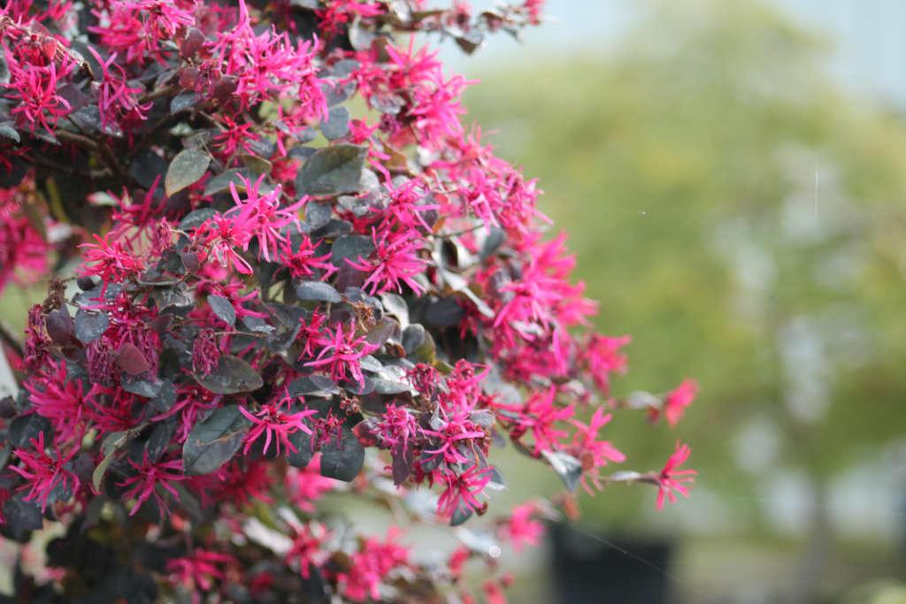 Le loropetalum en bonsai et sa superbe floraison rose