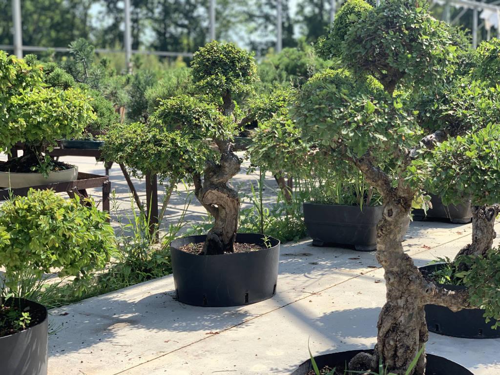 Vente en ligne d'ormes de Chine bonsai