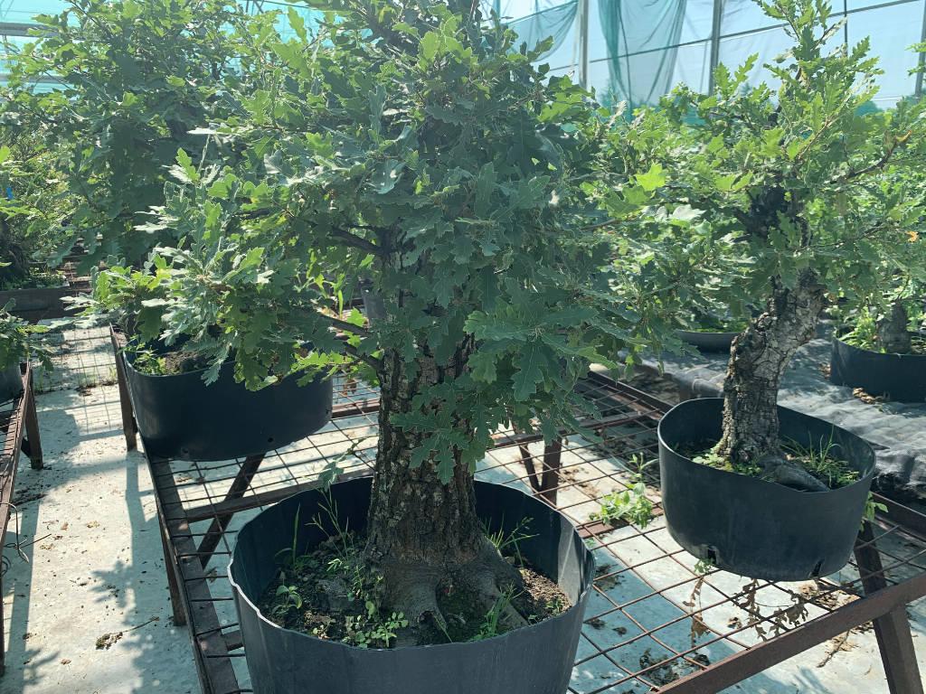 Chênes en bonsai