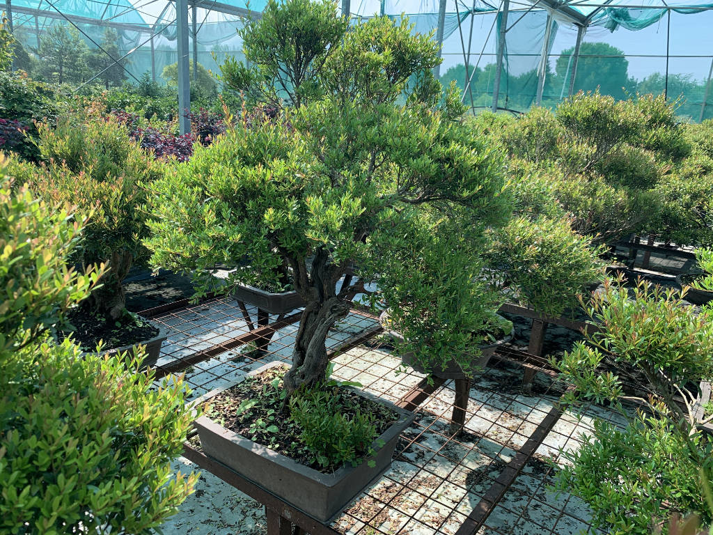 Myrtes en bonsai