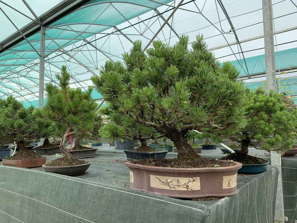 Très vieux pin mugo en bonsai