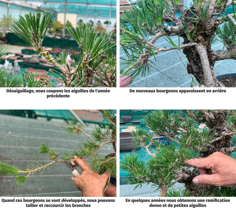 Comment tailler un pin noir du Japon, étape par étape