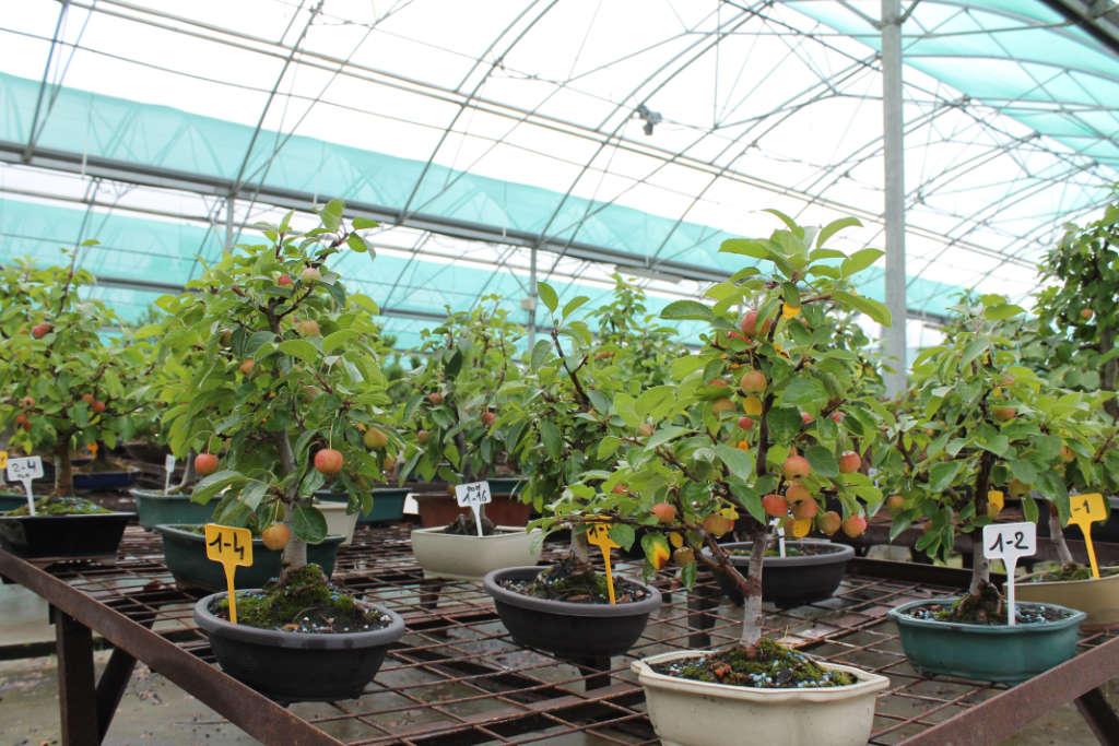 Pommier bonsai en vente dans notre pépinière