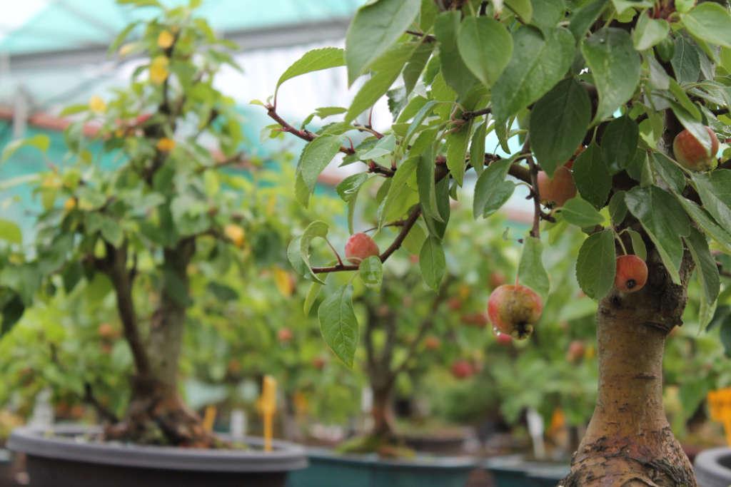 Petites pommes sur pommier bonsai
