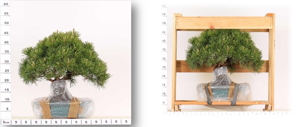 Fabrication d'une caisse sur mesure pour expédition bonsaï