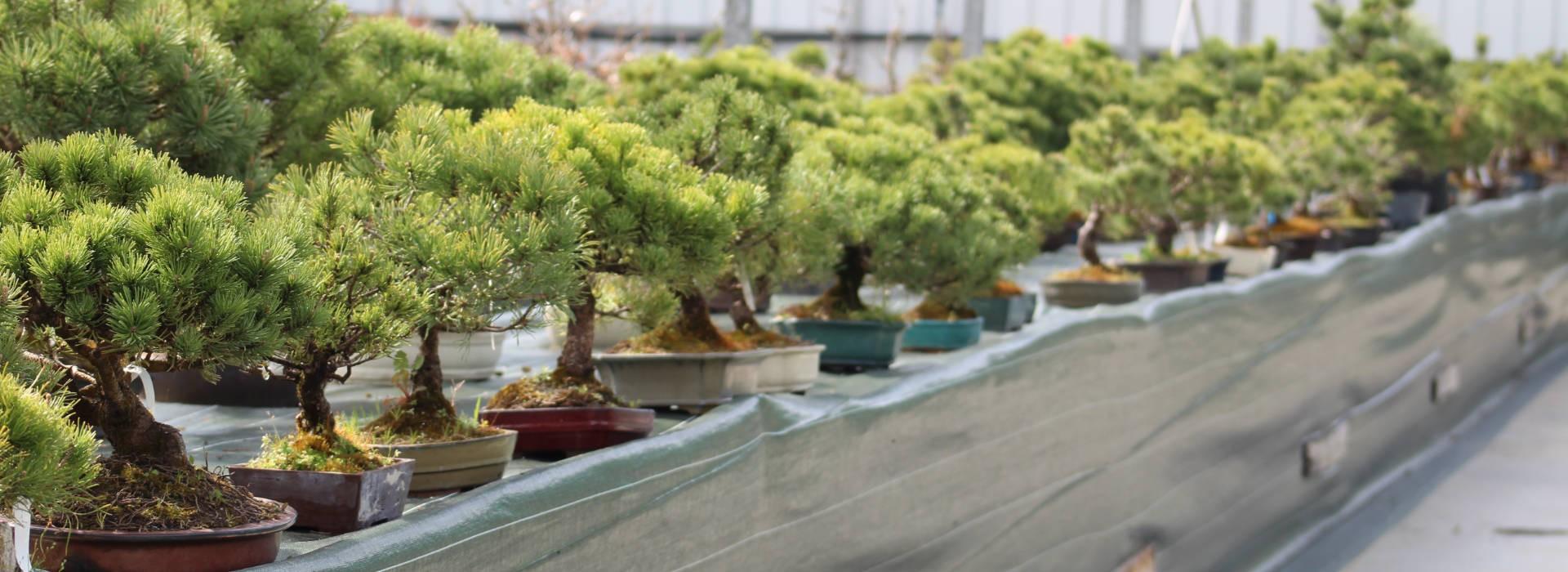Pins mugo direct pépinière bonsaï