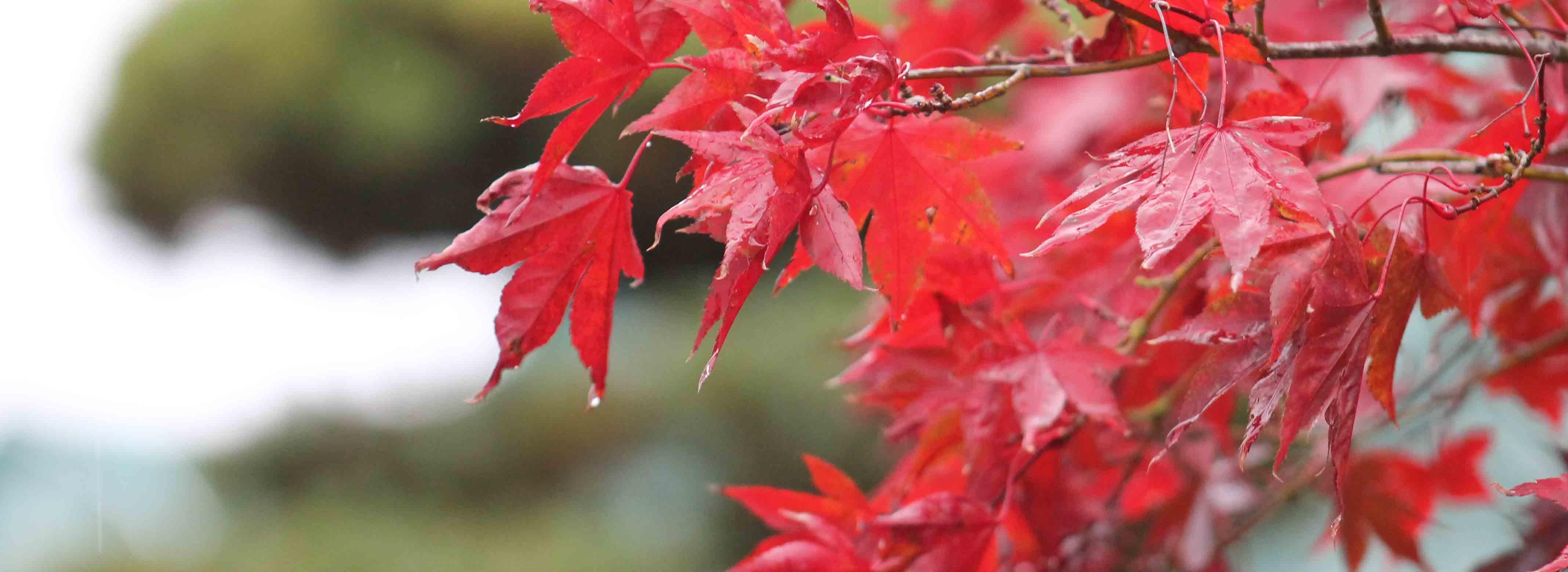 Erable automne