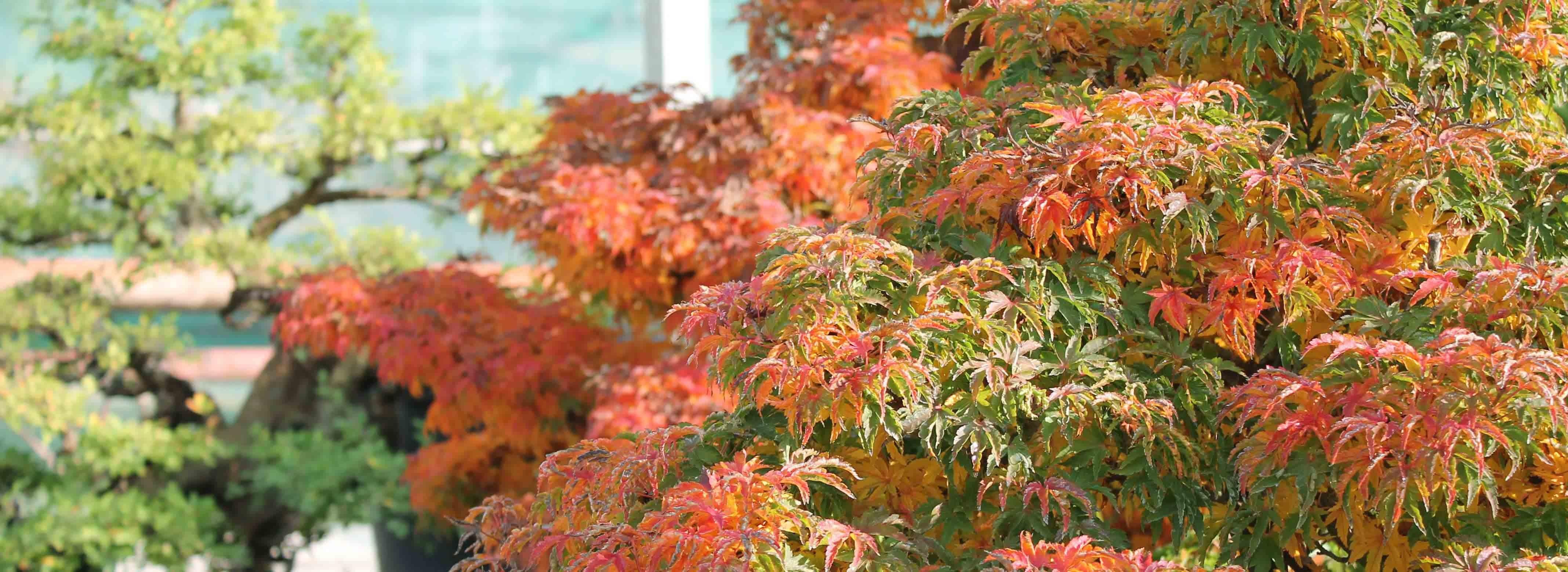Erable automne 2