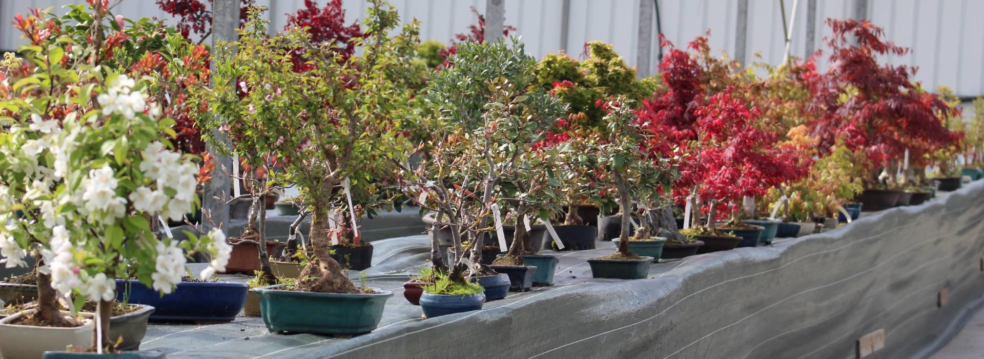 Grand choix de bonsaïs à la pépinière