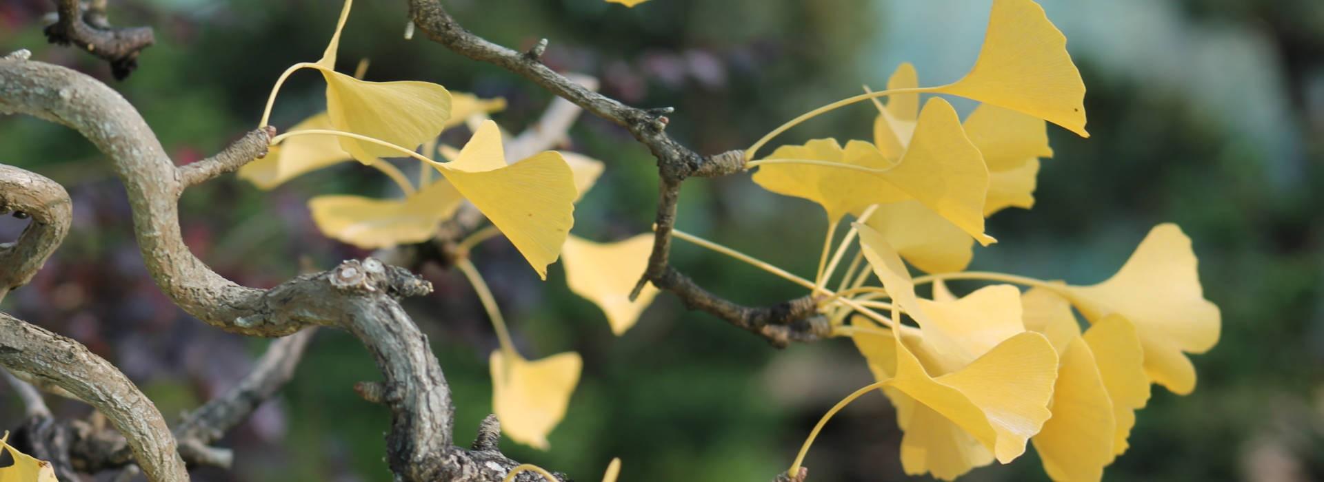 Couleurs d'automne sur Ginkgo Biloba