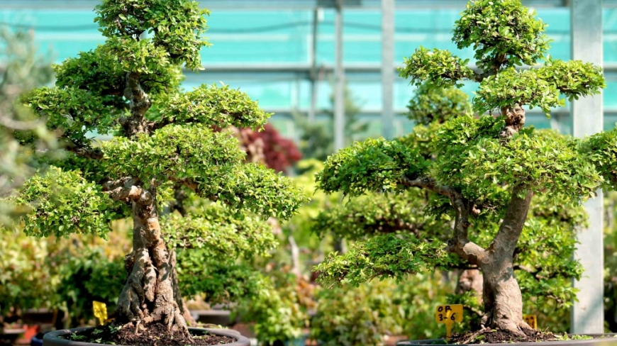 Orme de Chine bonsai : le guide complet